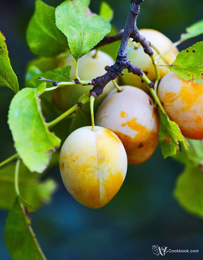 Plums of Azerbaijan