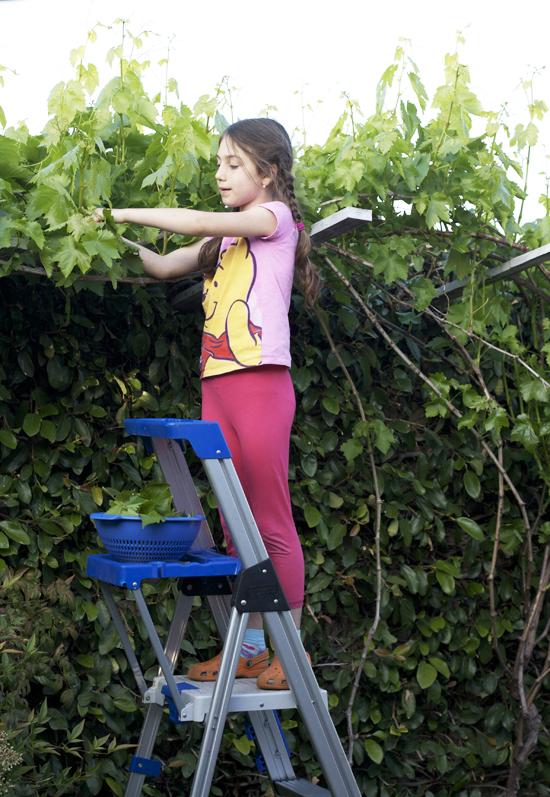 Picking Fresh Grape Leaves
